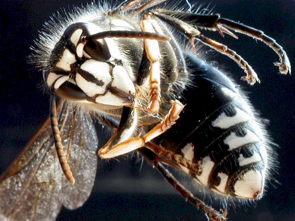Bald-Faced-Hornet; picture taken by Ken Wingle