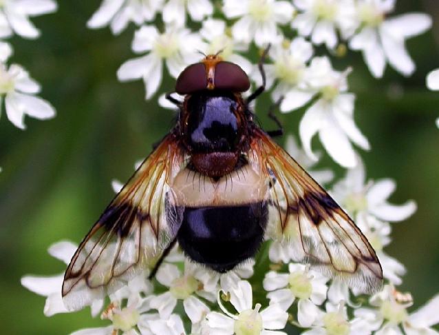 Riesen Fliegen