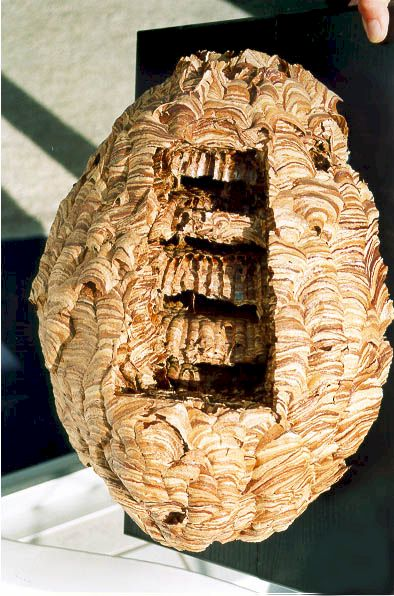 Preserving And Displaying A Hornet Nest