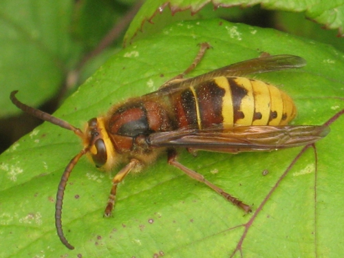 Photo: Paul West, Vespa crabro vexator, taken in Marden, Kent, England, September 2009